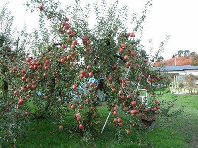 2009 11 20 apple 2 В Японии вырастили яблоки Apple